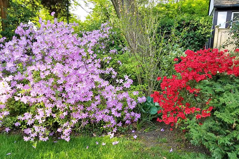 Red and lavender Rhododendron bushes blooming in the garden, with green foliage among other plants, with a green lawn in the foreground.