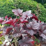 Burgundy heuchera with light green plants, and a rounded green shrub.