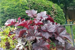 A Whole Lotta Heuchera (And How to Grow Them)