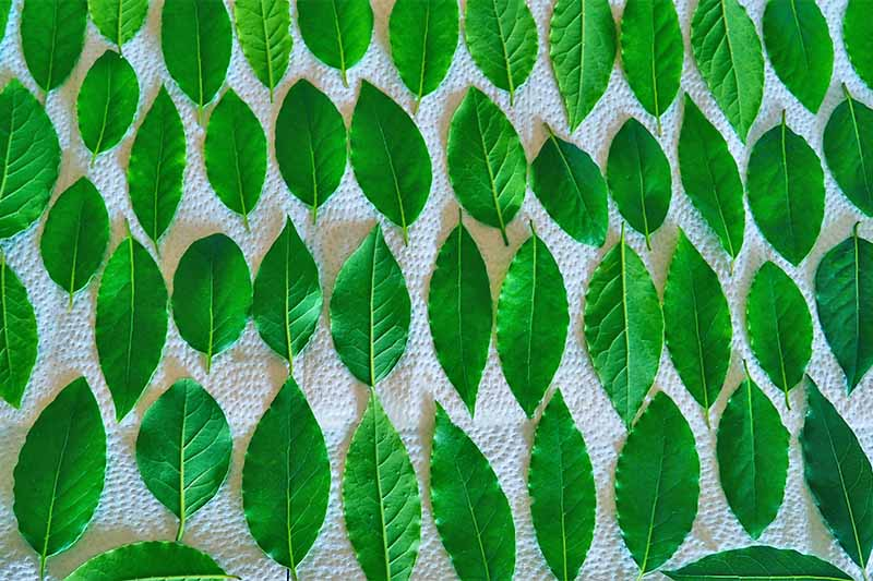 Green bay leaves arranged in rows on paper towels.
