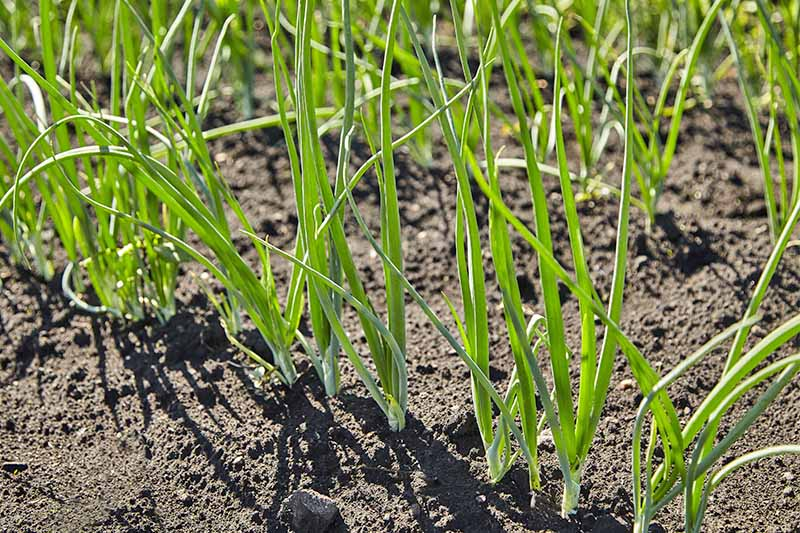 Green onion tops growing in rows in black soil, in bright sunshine.