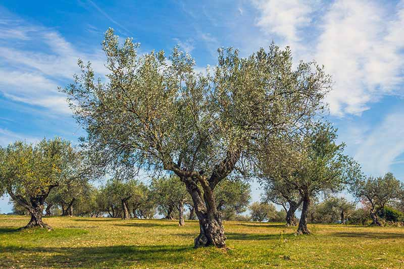 One large olive tree in the foreground with smaller trees in the background, growing in a yellow-green lawn, against a bright blue sky streaked with white clouds.