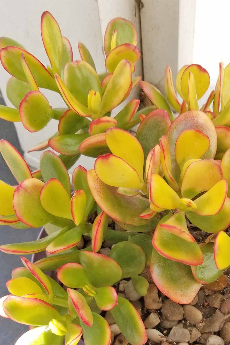 Closeup of an overwatered jade plant with light yellow-green leaves bordered with red, growing in a pot topped with pebbles.