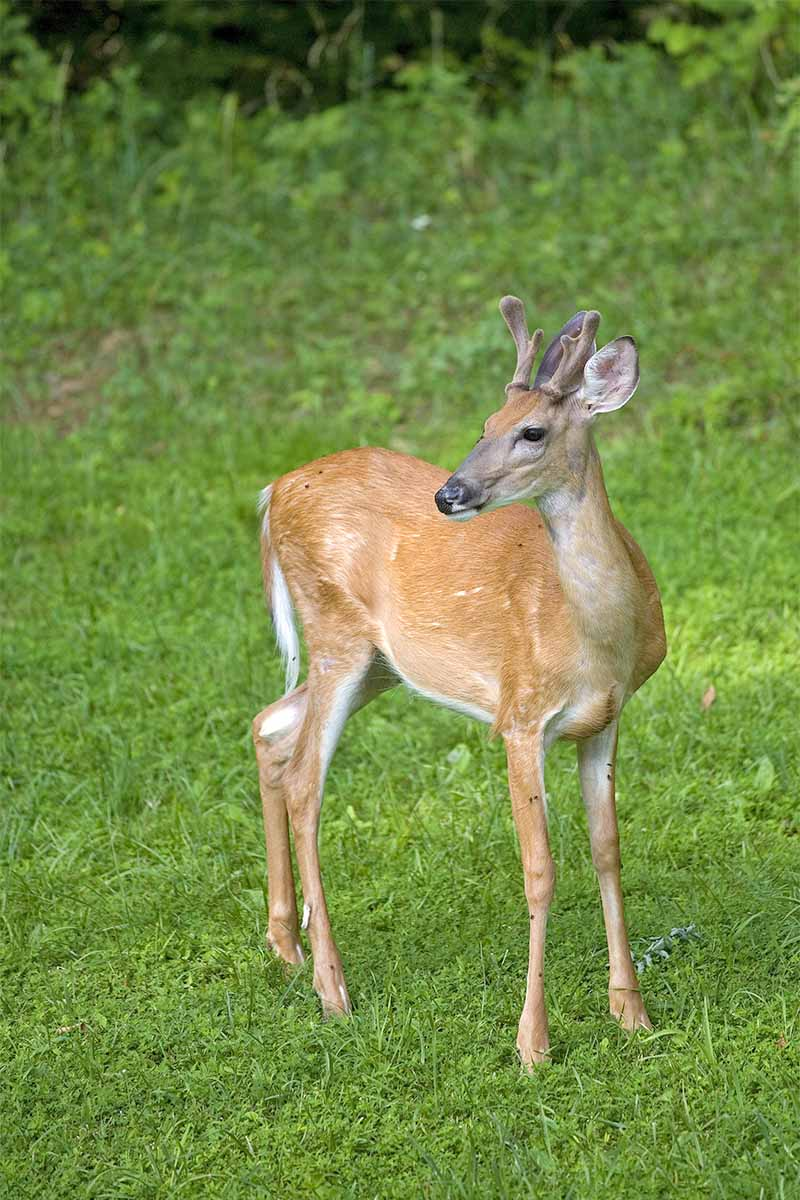 A light brown deer on a green lawn.
