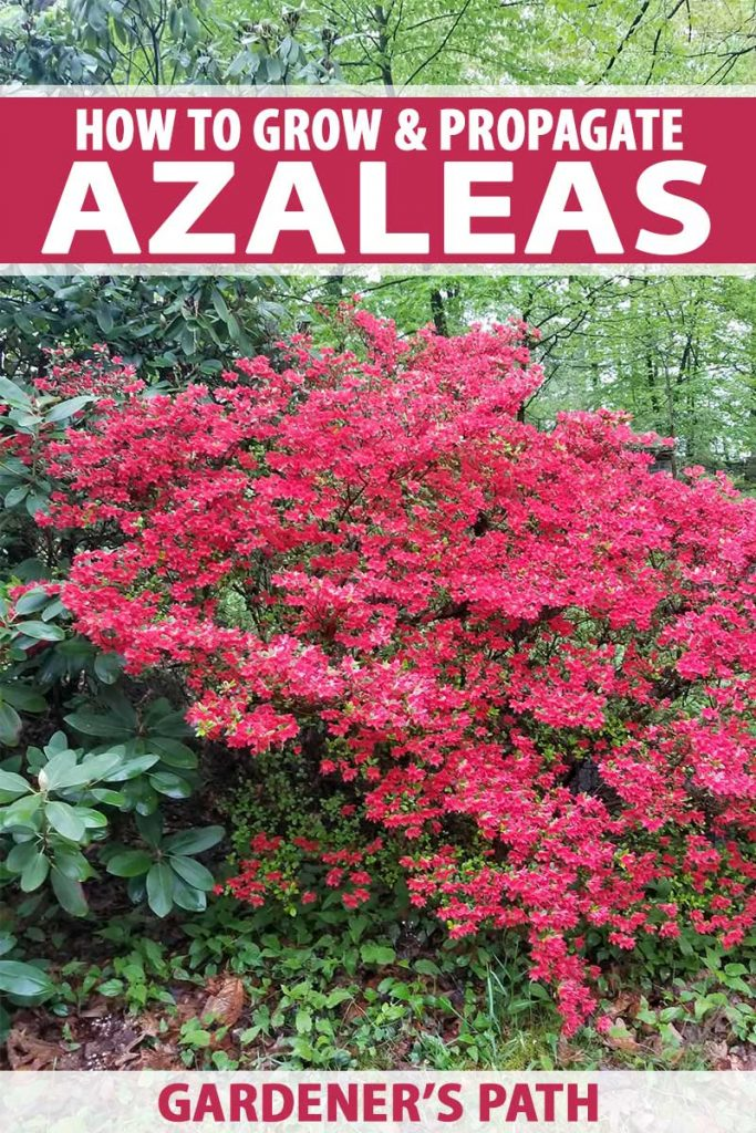A pink azalea bush covered in blossoms grows in a shady garden, beside a taller rhododendron bush with springtime trees with bright green young foliage in the background.