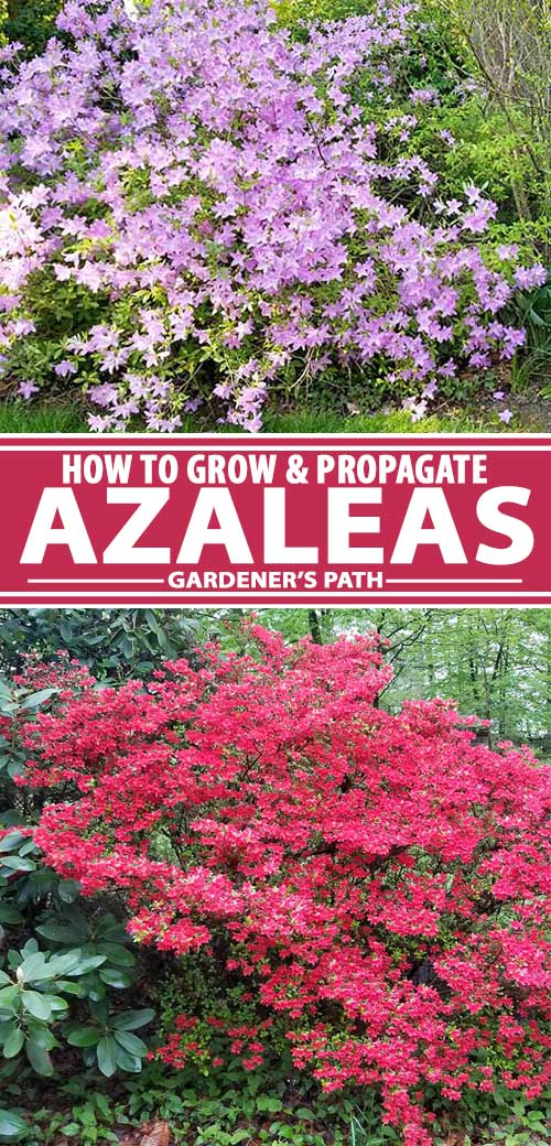 A collage of photos showing different colors and varieties of azaleas.