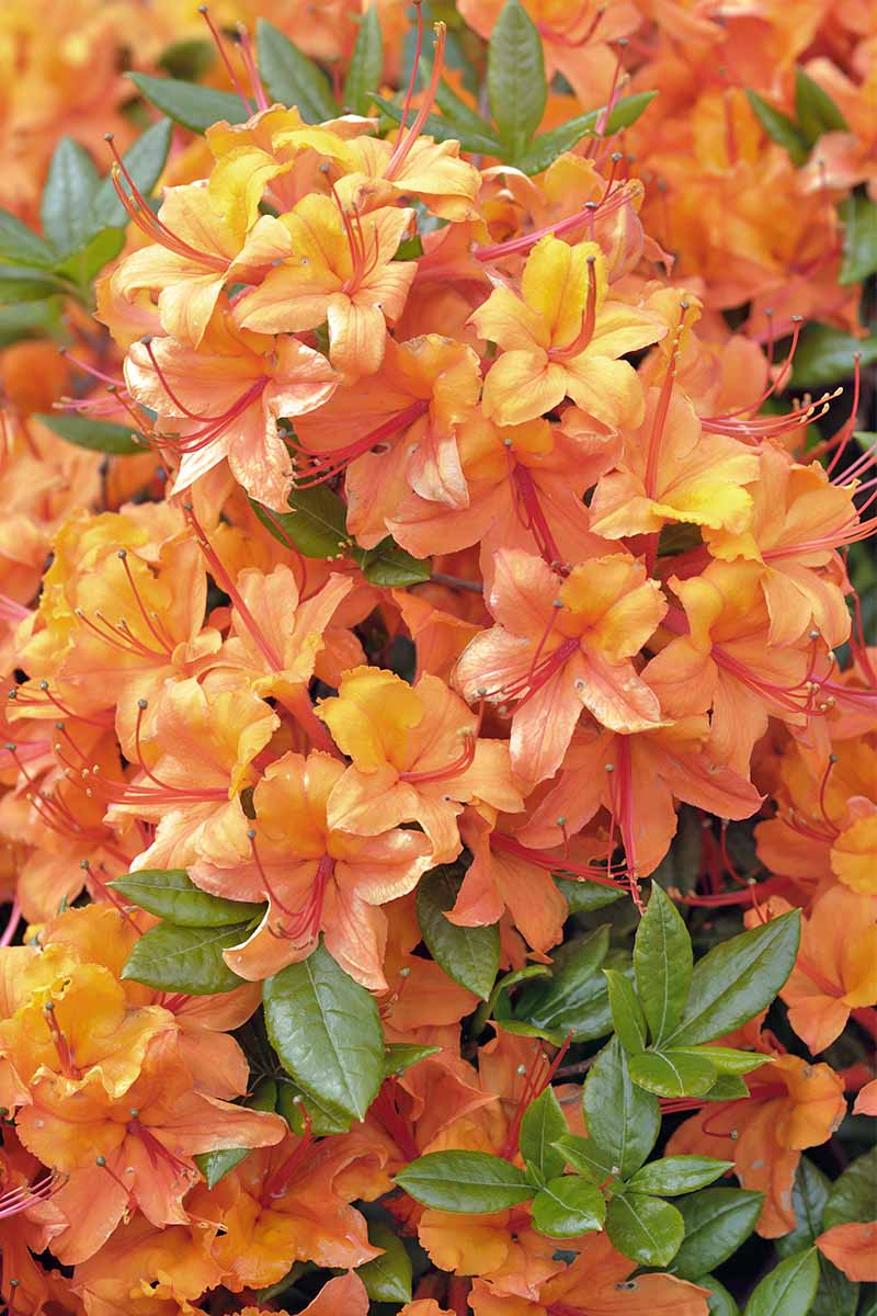 Closeup vertical image of orange azalea blossoms, with touches of salmon and yellow, and small green leaves.