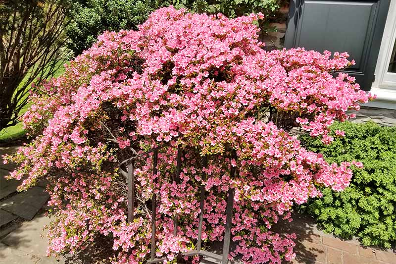 A light pink azalea bush covered in blossoms, growing in the sunshine in front of a house and green shrubbery.
