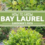 A collage of photos showing different views of bay laurel growing in a garden setting.