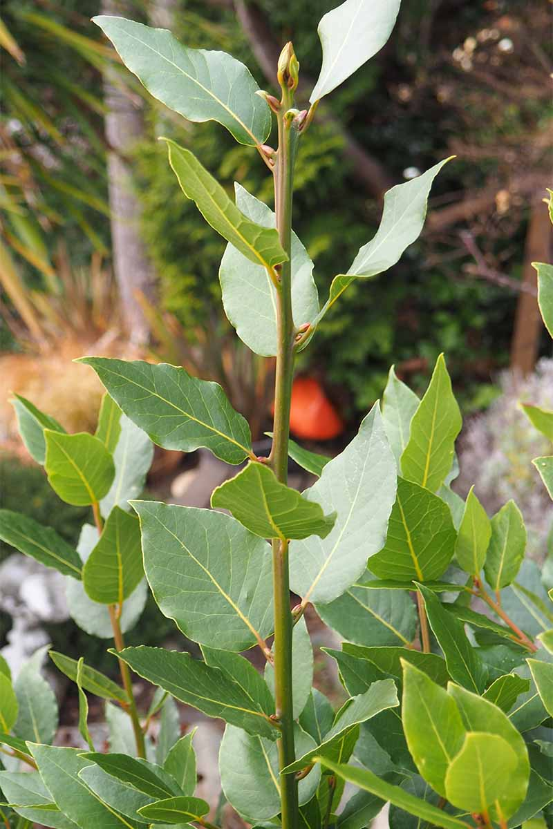 How To Grow Bay Laurel For Kitchen Use