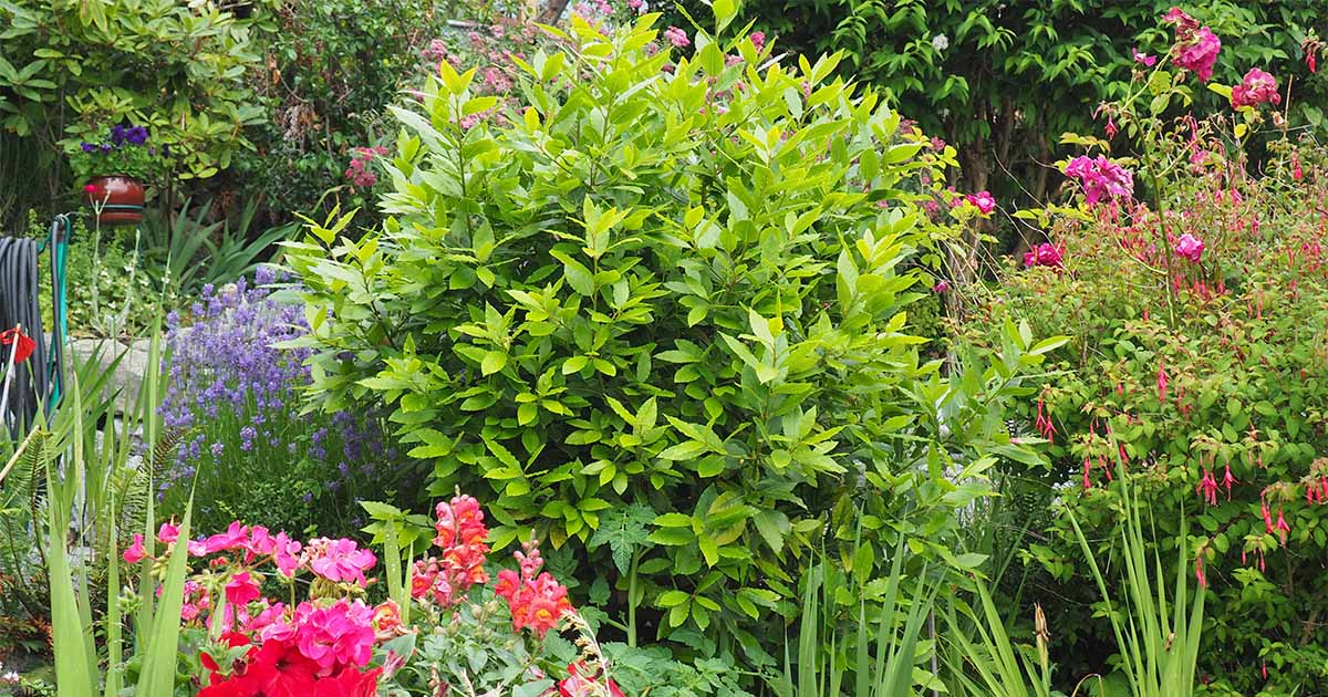 How to Grow Bay Laurel for Kitchen Use and Ornamental