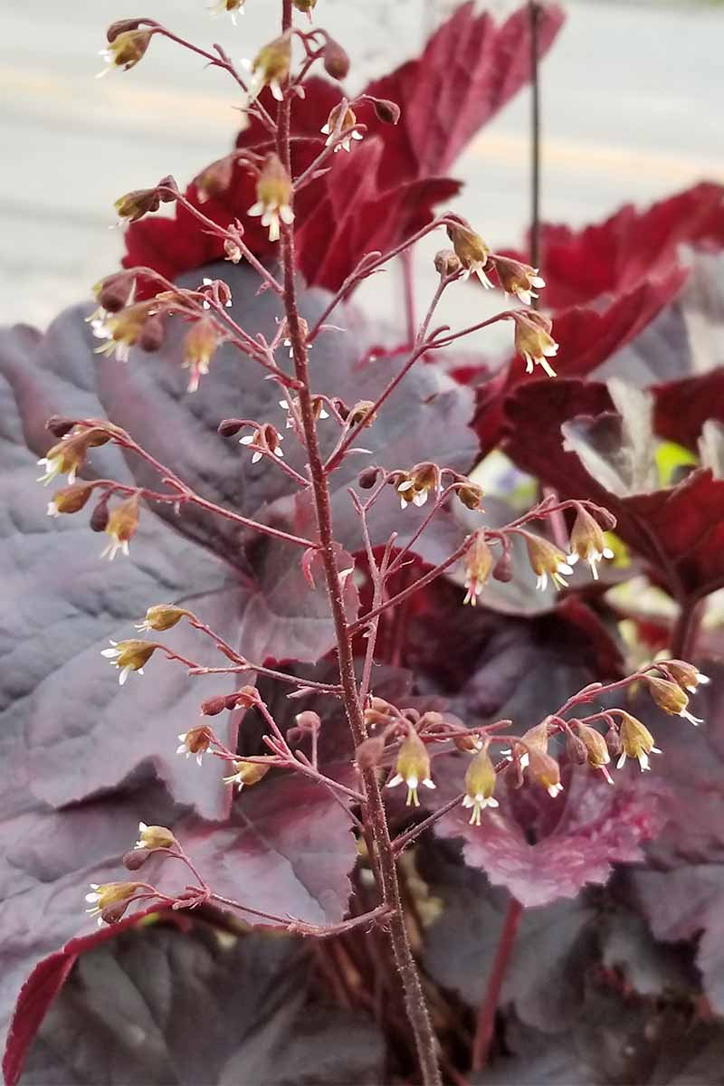 Closeup of a stalk of flowers on a dark burgundy coral bells plant.
