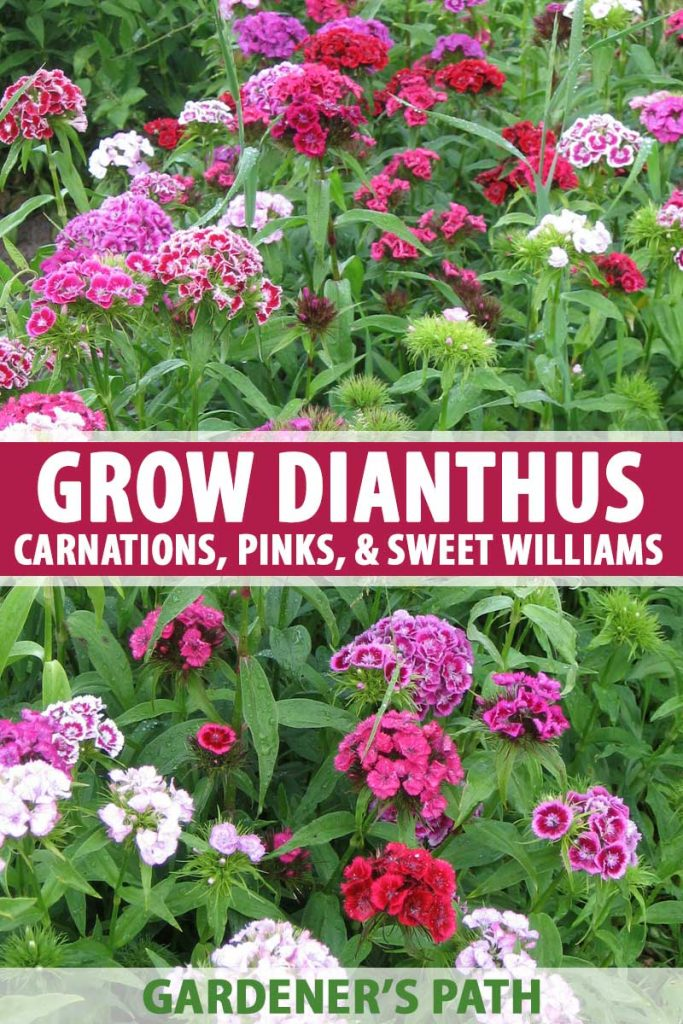 A photo showing many different types and colors of Dianthus flowers growing in a garden.