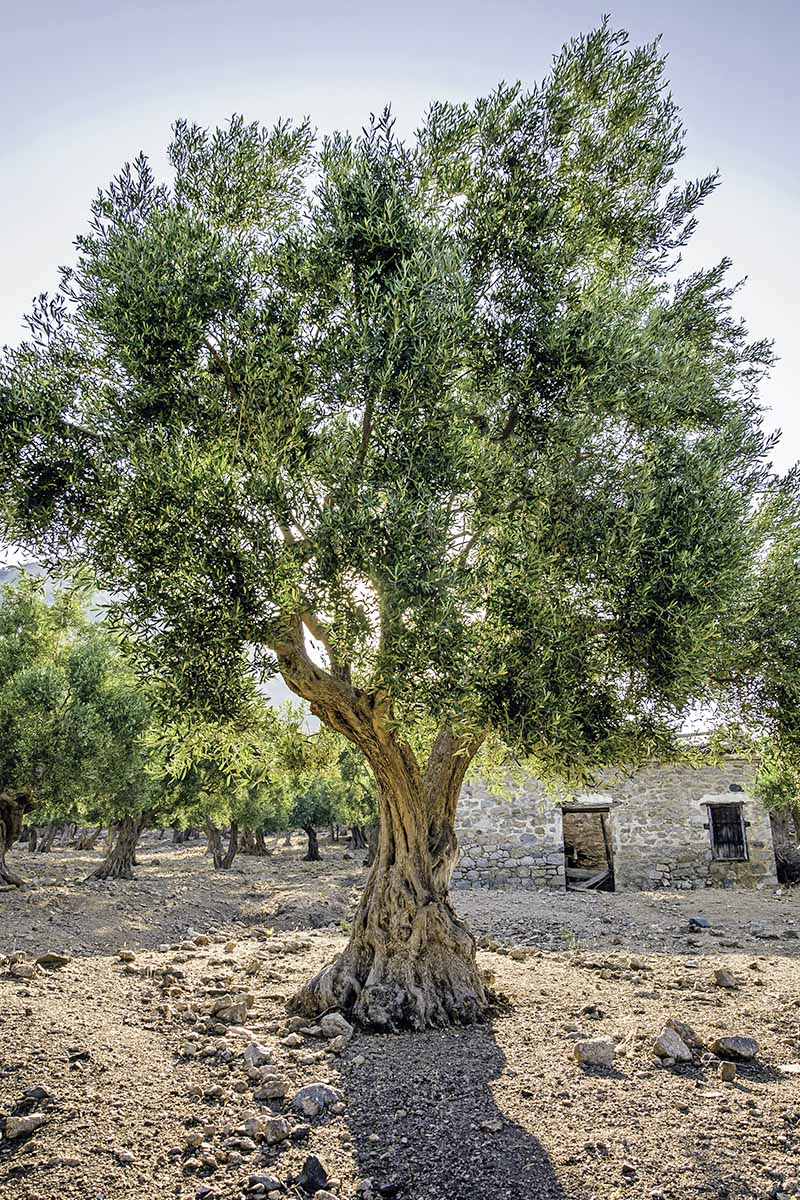 Vertical image of an olive tree growing in light brown soil, with a road in the background.