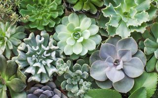 Top-down shot of a variety of Echeveria succulents growing in round clusters with a variety of smooth, ruffled, or spiky leaves, in various shades of green.