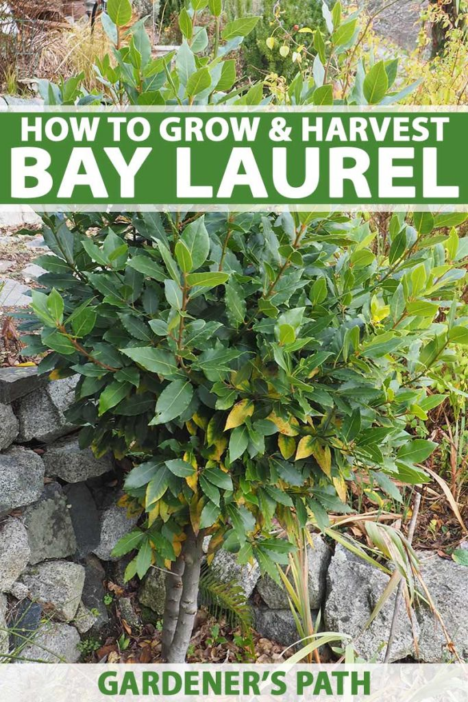 A bay laurel shrub growing next to a stone wall.
