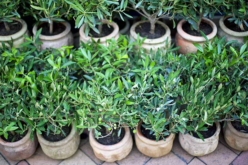 Small potted olive trees in two rows, on a tile floor.