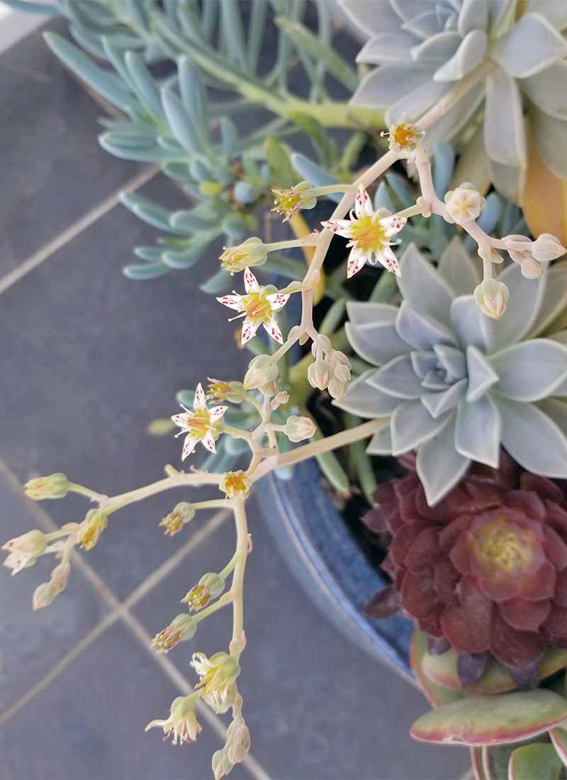 Star-shaped white, red, and yellow flowers bloom on long stems extending from pale blue succulents, next to others in shade of blue and maroon, in a blue ceramic planter on a slate tile surface.