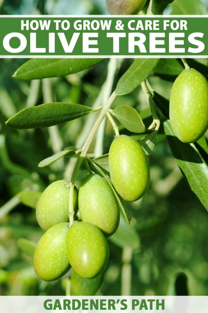 Close up of raw green olives growing on a tree.