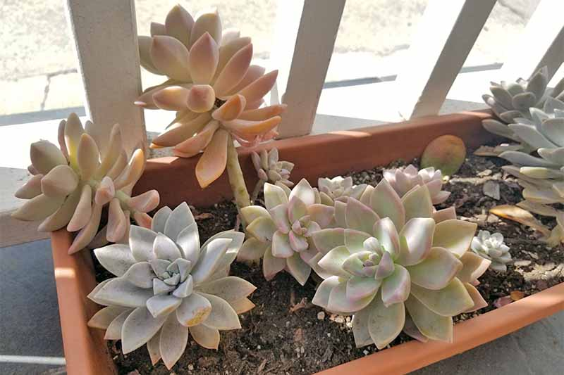Blue-green and pinkish succulents in a rectangular orange plastic planter filed with brown soil, growing along a white railing.