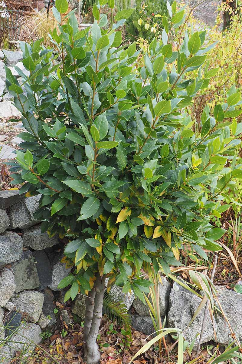 An L. nobilis shrub growing against a stone retaining wall in the garden.