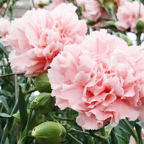 Pale pink 'La France' carnation blossoms, with dark green stems and lighter green buds.