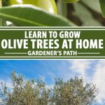 A collage of photos showing different views of olive trees and raw olives.