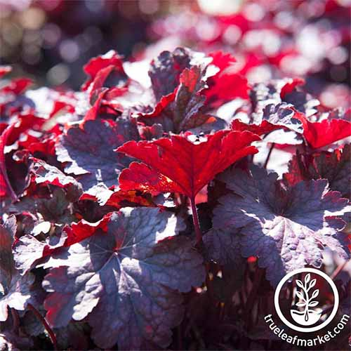 Dark burgundy 'Melting Fire' coral bells.