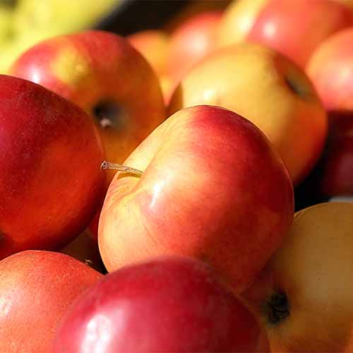 Closeup of yellow, red, and blush 'Northern Spy' apples.
