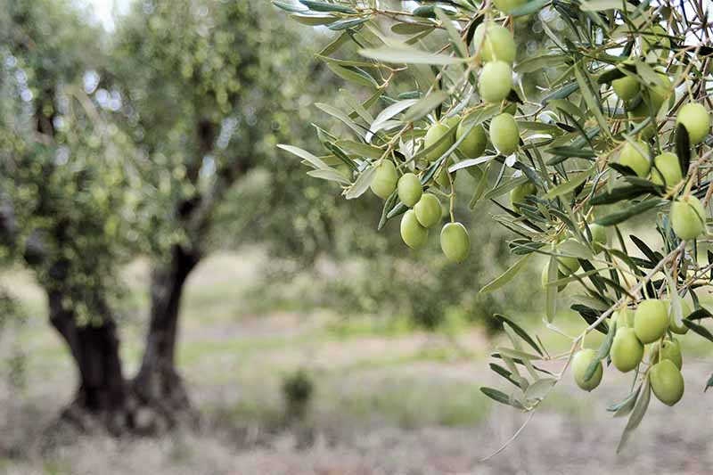 Gray-green olive leaves with a brown tree trunk in the background, and small pale green fruits growing in the foreground.