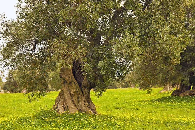 An old olive tree with gnarled wide trunk and small green leaves, growing in a bright green lawn with yellow flowers.