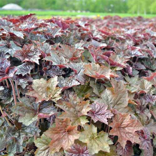 Light green, marron, and brownish purple 'Palace Purple' Heuchera.