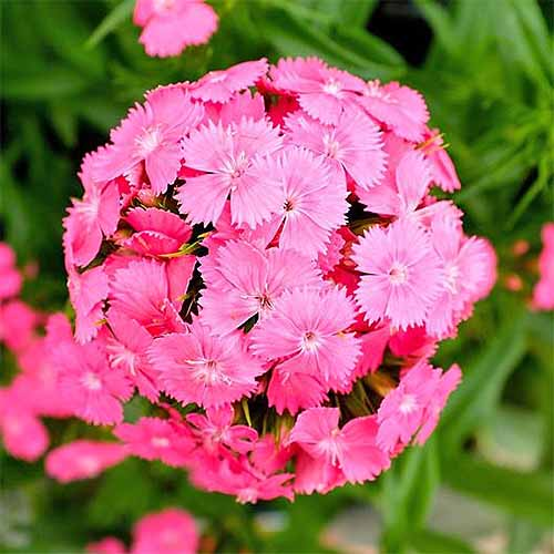A round cluster of 'Pink Beauty' sweet william flowers, with green leaves in the background.