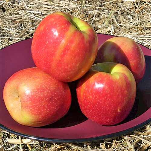 Four red and yellow 'Pink Lady' apples on a maroon plate, on top of a hay bale.