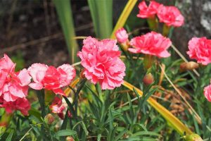 Charming Dianthus: Fragrant, Pretty, and Easy to Grow Carnations, Pinks, and Sweet Williams