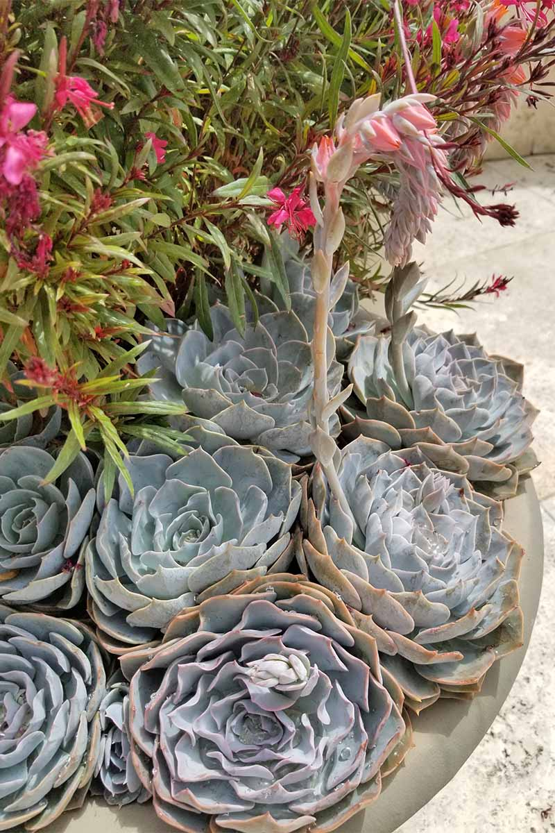Become a succulent pro with these tips for home gardeners gray blue succulent rosettes with a long single stalk topped with pink flowers mightylinksfo