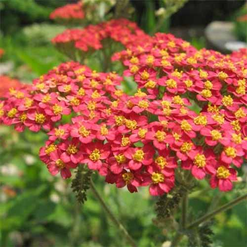 Square image of red achillea with yellow centers and green leaves.