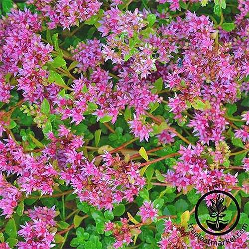 Hot pink sedum 'Dragon's Blood' flowers with green leaves.