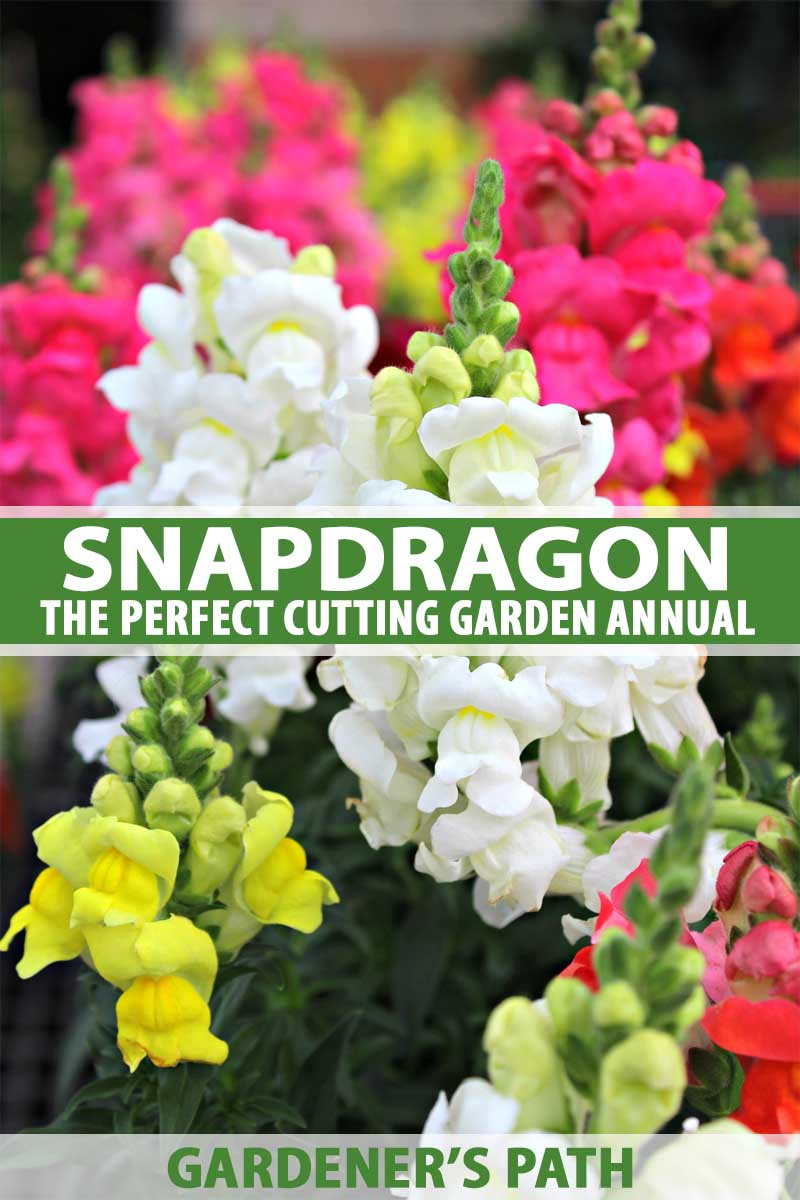 How To Grow Snapdragon Antirrhinum Majus Gardeners Path