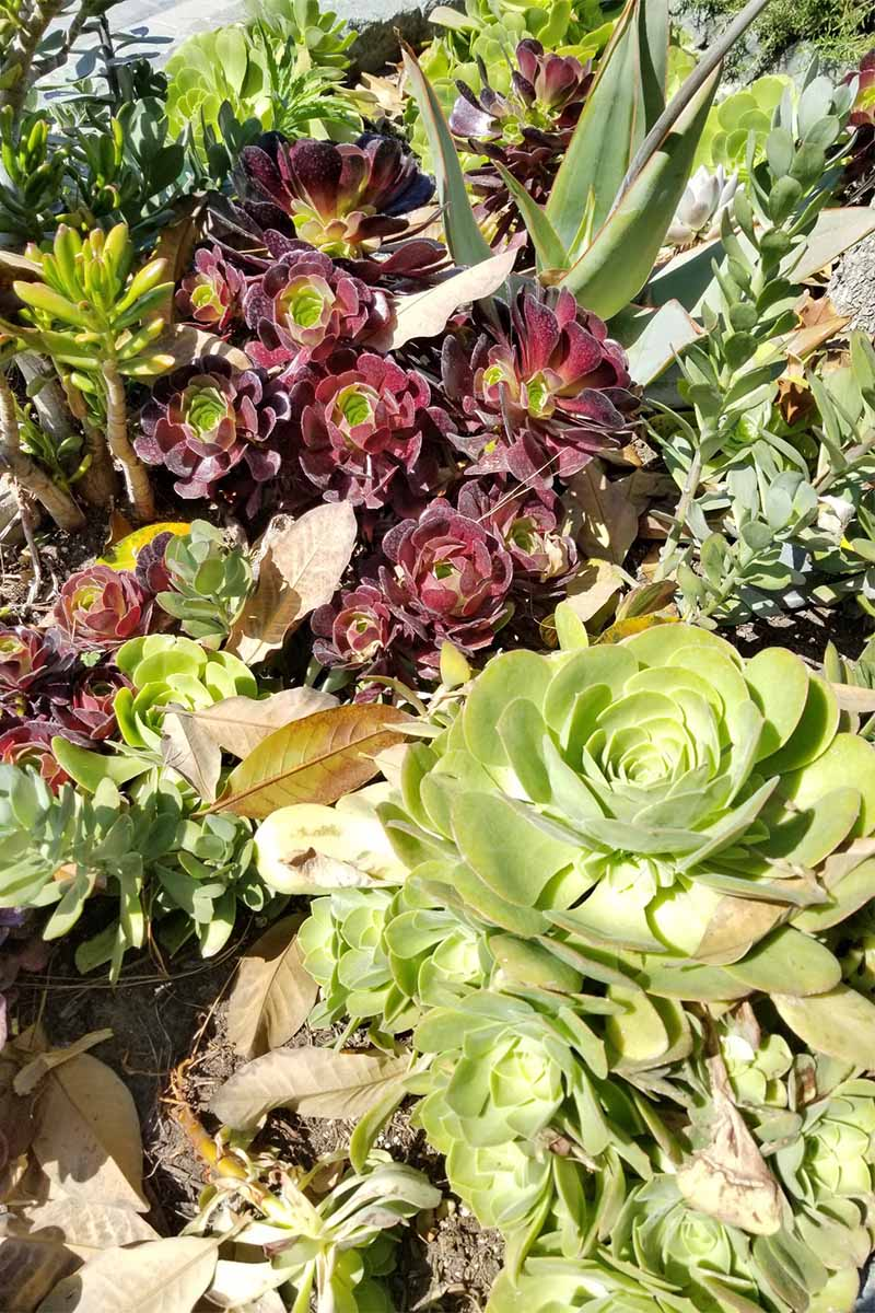 Green and purple succulents growing in bright sunshine.