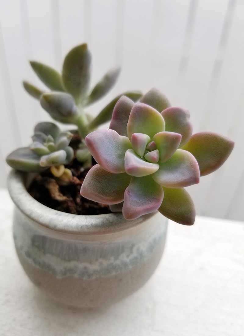 A small succulent plant in shade of purple, blue, and green, in a small ceramic pot on a white deck rail.