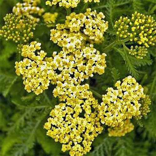 Golden yellow 'Sunny Seduction' Achillea, with feathery green leaves.