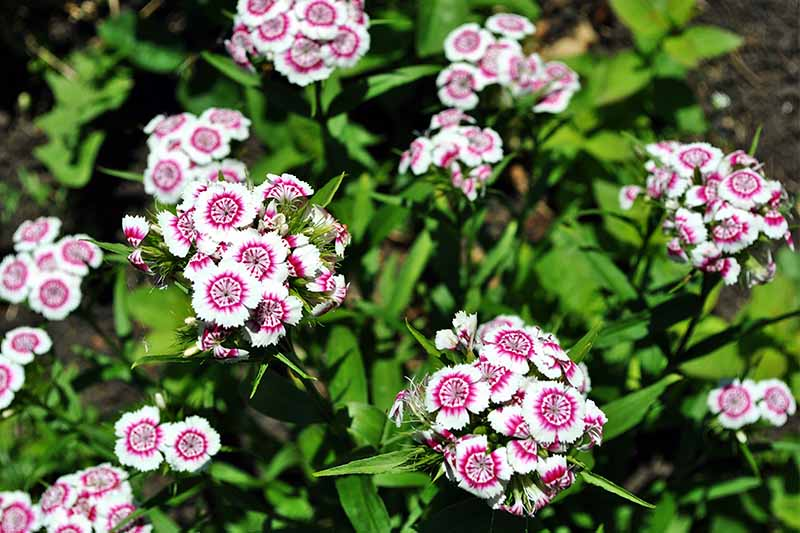 Clusters of white sweet william flowers with red centers and green leaves.