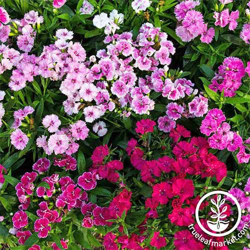 Magenta, pink, and white 'Telstar' Dianthus flowers.