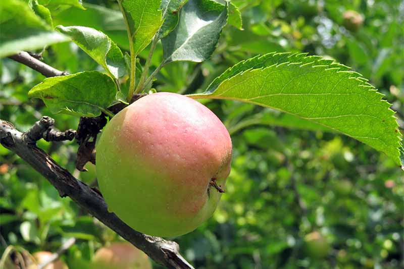 A pale yellow apple with a blush of pink on the top where the sun is shining on it, growing on a dark brown branch with large green leaves.