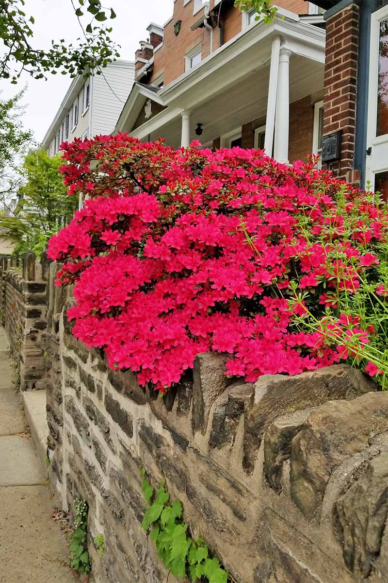 A vibrant magenta azalea bush blooming at the top of a stone wall in front of a brick house.