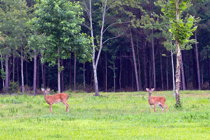 Two deer on a green lawn with small trees leading into dark woods in the background.
