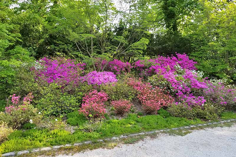 Azaleas in several shades of pink blooming among other shrubs and green spring foliage, along a gravel pathway.