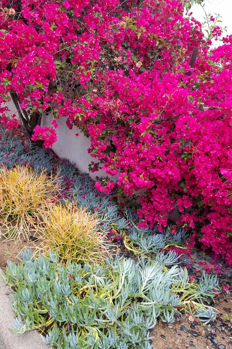 Magenta bougainvillea, and green and yellow succulents, growing along a white fence next to a cement curb outdoors.
