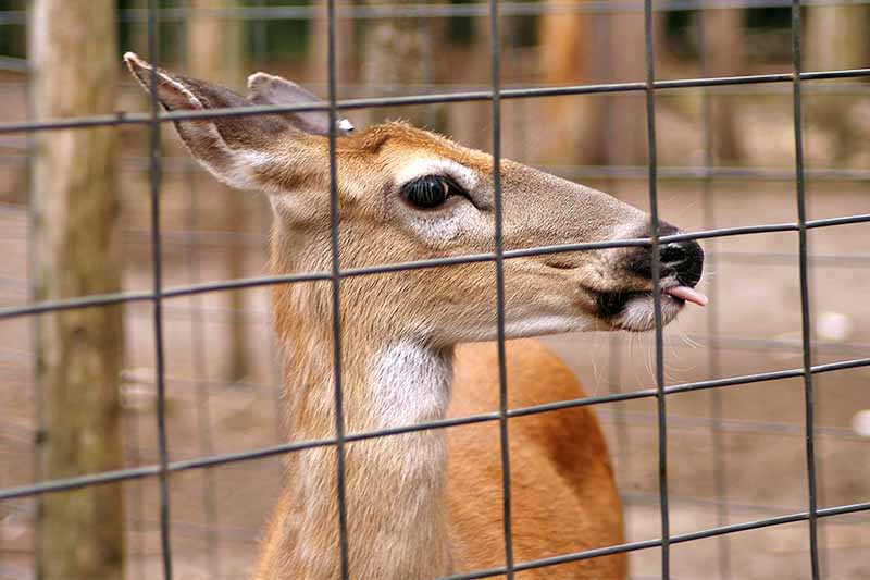 A brown deer with tongue sticking out, behind a wire fence.